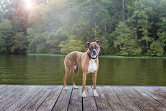 Hund auf Dock am See Stockbild