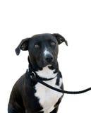 Hund auf einem Blei. Stockfotos