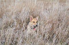 Hund auf einem Gebiet lizenzfreie stockfotos
