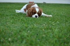 Hund auf einem Rasen Lizenzfreie Stockbilder
