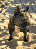 Hund auf einem Strand lizenzfreie stockfotografie
