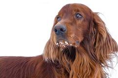Hund auf einem weißen Hintergrund. Stockfoto