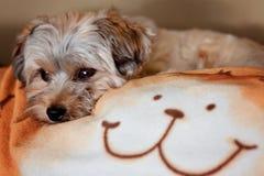 Hund auf einer Decke Stockfoto