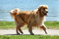 Hund auf einer Leine Lizenzfreie Stockbilder