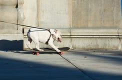 Hund auf einer Leine, die ein Skateboard auf die Straße reitet Lizenzfreies Stockbild