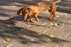 Hund auf einer Leine im Park Stockfoto