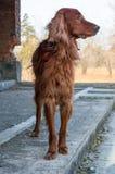 Hund auf einer Leiter des Altbaus. Stockfotos