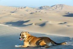 Hund auf einer Sanddüne Stockbild