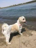 Hund auf Fluss Lizenzfreie Stockbilder
