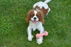 Hund auf grünem Gras mit seinem Spielzeug Stockbild