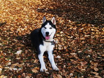Hund auf Herbst Stockfoto