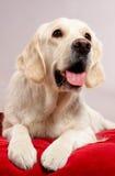 Hund auf Kissen Stockbild