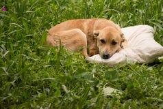 Hund auf Kissen Stockfotografie