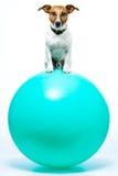 Hund auf Kugel Stockfotografie