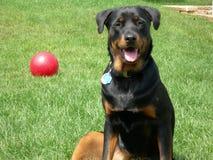 Hund auf Kugel-Abdeckung Lizenzfreie Stockfotografie