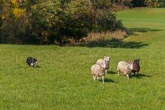 Hund auf Lager bewegt Gruppe des Schafe Oviswidders weg von Holz Lizenzfreie Stockfotografie