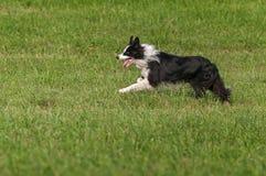 Hund auf Lager läuft glücklich Stockfoto