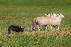 Hund auf Lager lebt Trio von Schafen nach rechts in Herden Lizenzfreie Stockfotos