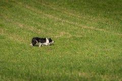 Hund auf Lager pirscht sich nach rechts an Lizenzfreie Stockfotografie