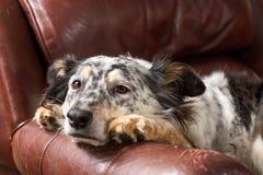 Hund auf Lehnsessel Stockbilder