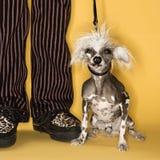 Hund auf Leine. Stockfotografie