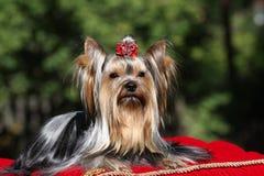 Hund auf rotem Teppich Lizenzfreie Stockfotografie
