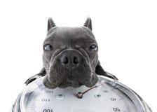 Hund auf Skala, mit Übergewicht Lizenzfreie Stockbilder