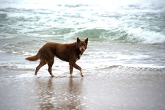 Hund auf Strand Stockbilder