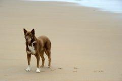 Hund auf Strand Stockfotos