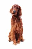 Hund auf Weiß Lizenzfreie Stockfotografie