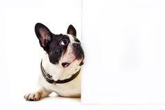 Hund auf weißem Hintergrund Stockfotos