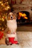 Hund; Australischer Schäfer, der vor dem Weihnachtsbaum sitzt stockfotos