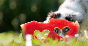 Hund; Australischer Schäfer schaut durch das Herz in einer Wassermelone stockbild