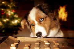 Hund; Australischer Schäfer stiehlt Hundekuchen vom Backblech lizenzfreies stockfoto