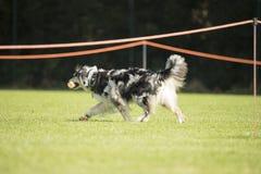 Hund australisk herde som går med hanteln i hans mun Royaltyfri Fotografi