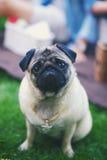 Hund av avelmops fotografering för bildbyråer