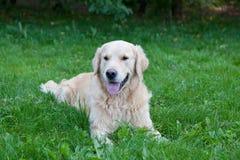 Hund av aveln en golden retriever Arkivbild