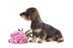 Hund av brun färg av aveltaxen Arkivfoto