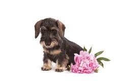 Hund av brun färg av aveltaxen Arkivfoton