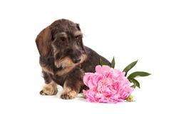 Hund av brun färg av aveltaxen Arkivbilder