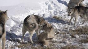 Hund av den skrovliga aveln på koppellek - hoppet, tugga, sniffar sig arkivfilmer