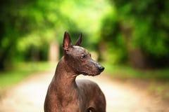 Hund av den Xoloitzcuintli aveln, mexikansk hårlös stående det fria för hund på sommardag Arkivfoton