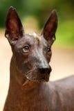 Hund av den Xoloitzcuintli aveln, mexikansk hårlös stående det fria för hund på sommardag Arkivbilder