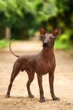 Hund av den Xoloitzcuintli aveln, mexikansk hårlös stående det fria för hund på sommardag Royaltyfria Foton