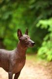 Hund av den Xoloitzcuintli aveln, mexikansk hårlös stående det fria för hund på sommardag Arkivfoto