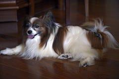 Hund av lopppapillonen som ligger på golvet av rummet Royaltyfria Foton