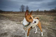 Hund-basenji in der Steppe Lizenzfreie Stockbilder