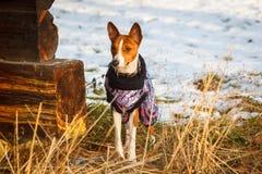 Hund-basenji in der Winterkleidung Lizenzfreie Stockfotografie