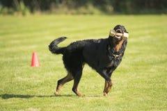Hund Beauceron, tilltalande hantel Royaltyfri Bild
