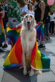 Dog covered with rainbow flag at Baltic Pride event. Gay flag painted on dogs nose during